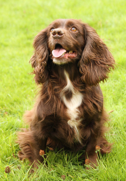 Small Working Cocker Stud Dog