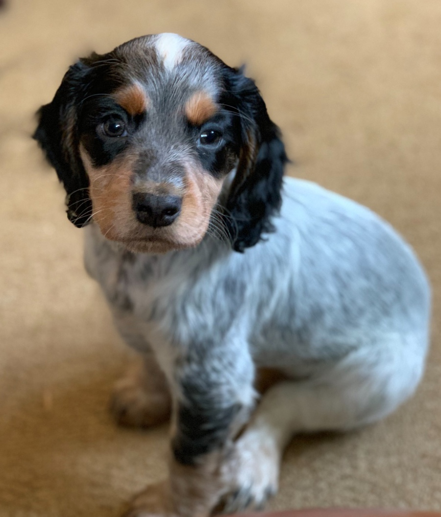 Clumsetter Gundogs Working Cocker Spaniel Puppies And Stud Dogs Purdy Blue Roan And Tan